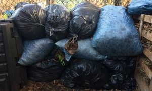 Hundreds of bags of leaves are collected every year.